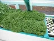BasilTomatoesSmall