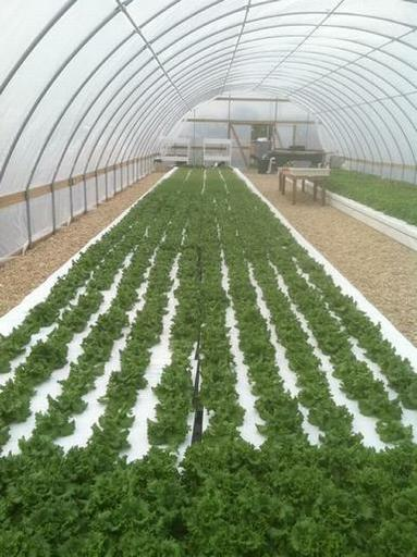 lettuce2-385px