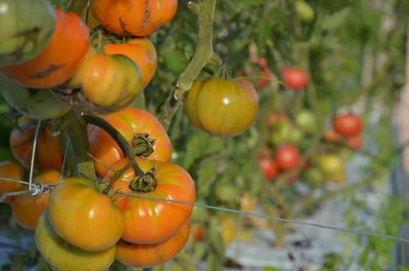 tomatoes1Medium
