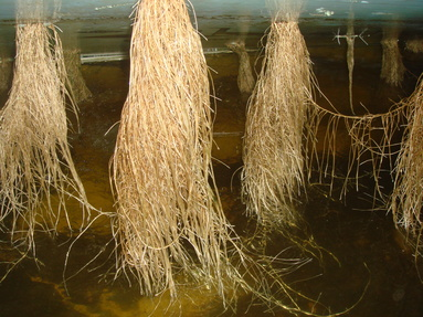 437 Fava roots 01 15 08